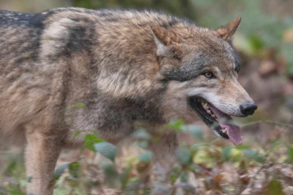 Wölfin im Landkreis Rostock erschossen
