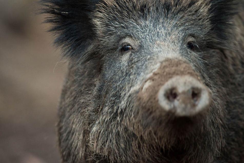 Angegriffenes Wildschwein verletzt Jäger tödlich