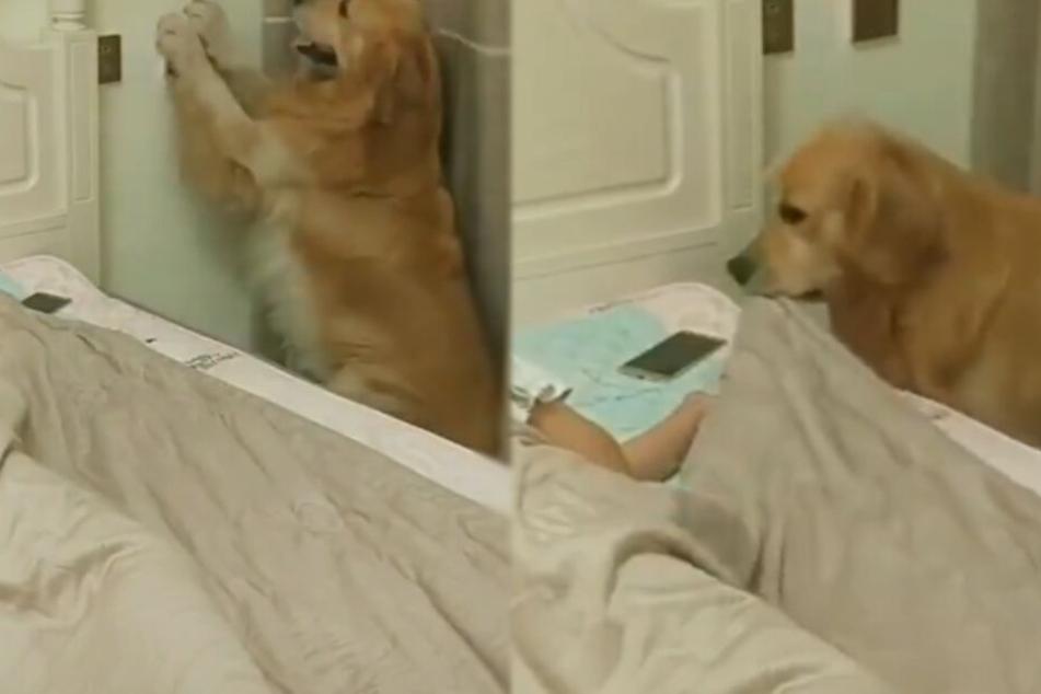 Hund deckt Frauchen mit ihrer Bettdecke zu