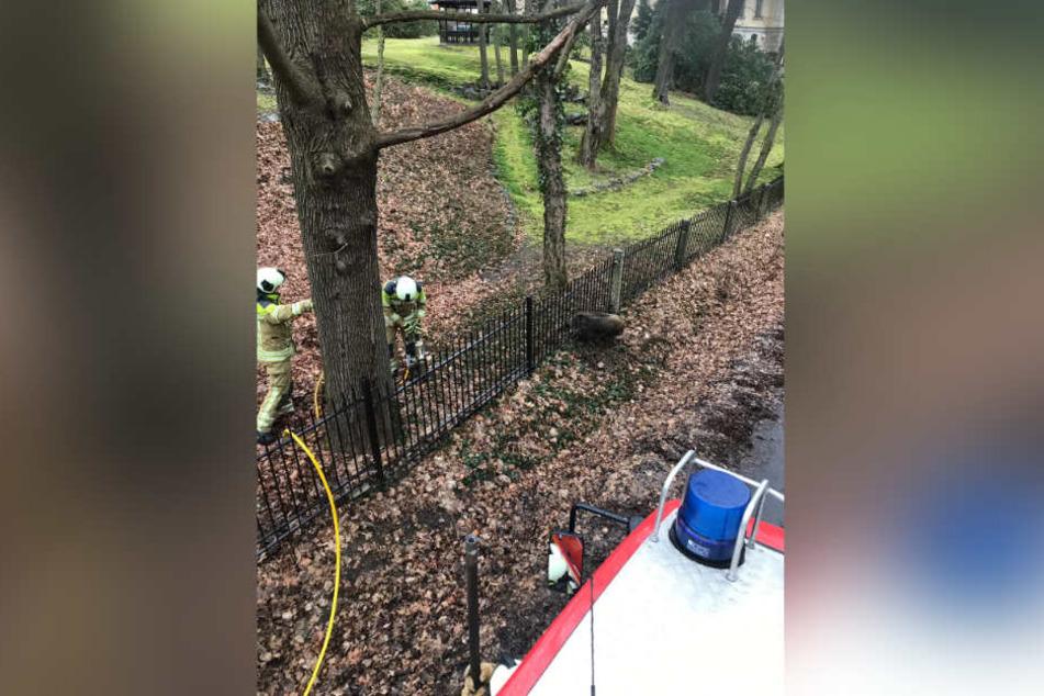 Mit schwerem Gerät musste die Feuerwehr das Wildschwein befreien.
