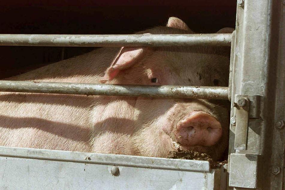Die armen Schweine!