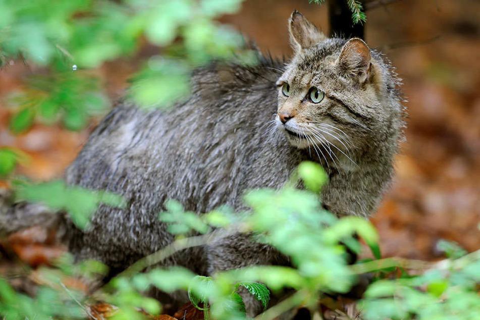 Europäische Wildkatzen werden bis zu einem Meter lang und bis zu 6,5 Kilo schwer.