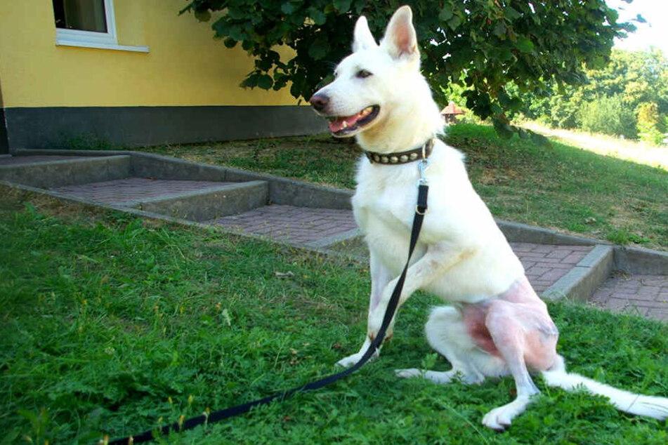 Schäferhund Janosch (1) hat seine Hüft-Operation gut überstanden und sucht jetzt eine neue Familie.