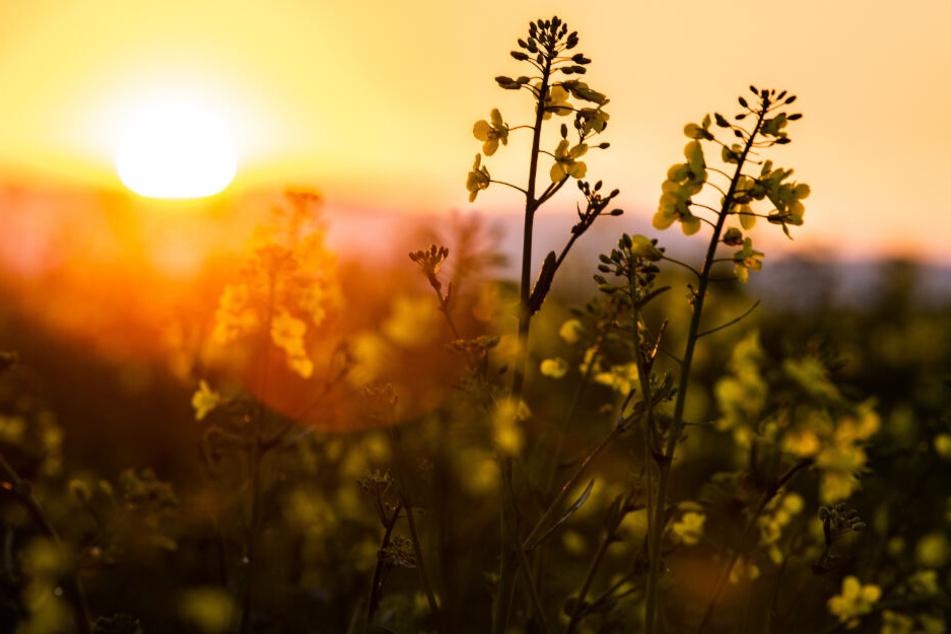 Sonnenanbeter wird's freuen (Symbolfoto).