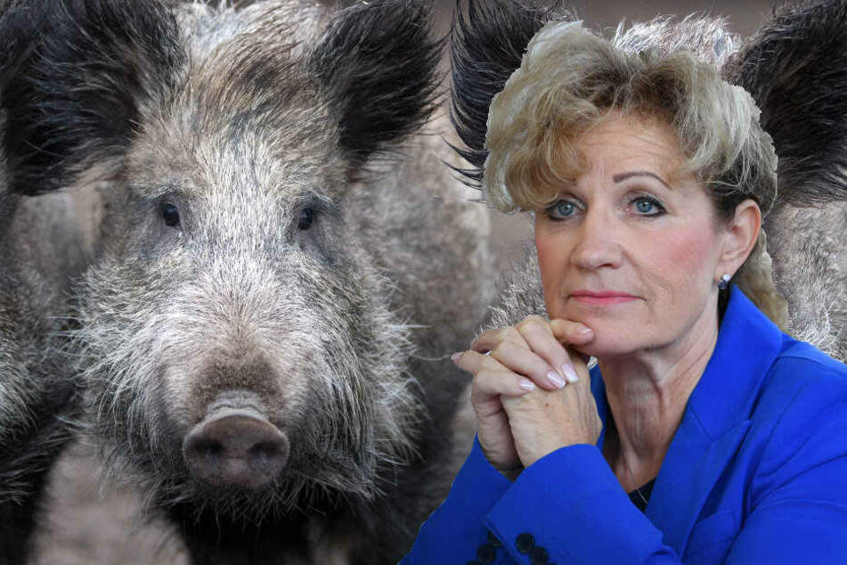 Für Menschen ist die Schweinepest nicht gefährlich.