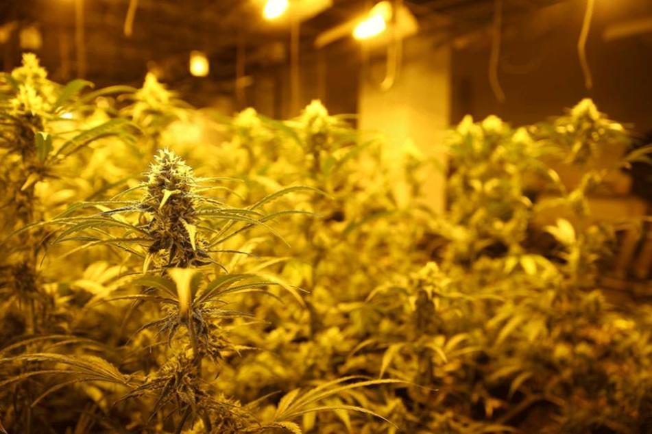 250 Cannabispflanzen wurden in den Gebäude in Biesdorf sichergestellt.