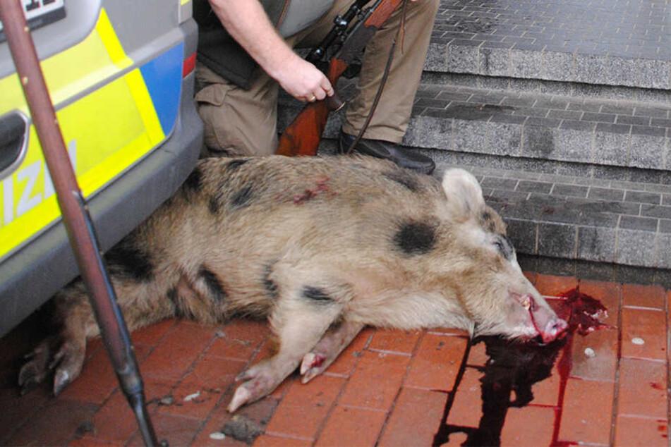 Für Kölner Wildschweine gibt es ab sofort keine Schonzeit mehr. (Symbolbild)