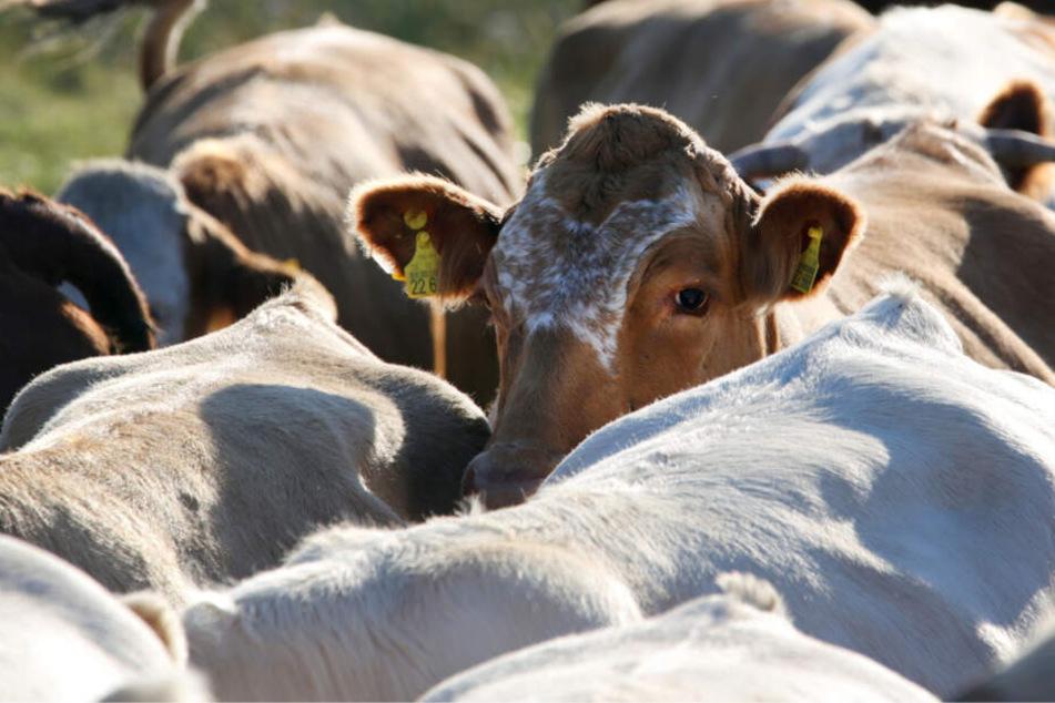 Nachdem es über das Auto gelaufen war, ging das Tier wieder zurück zu seiner Herde. (Symbolbild)