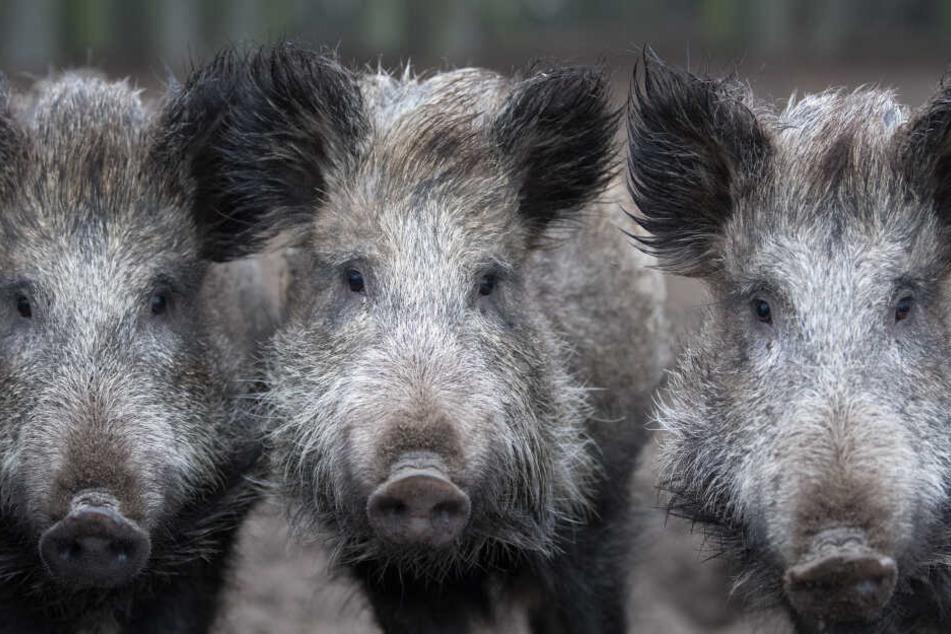 Besonders Wildschweine sind von der Rest-Strahlung betroffen.