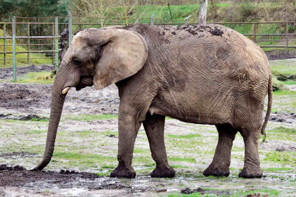Elefantenkuh Bibi hat bereits zwei eigene Baby getötet.
