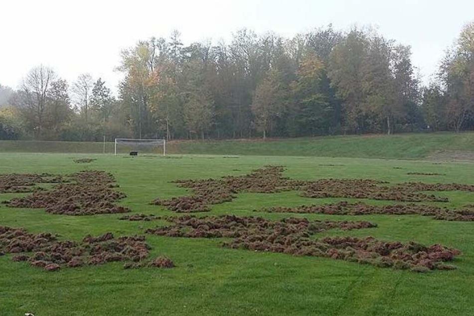 Wildschweine haben den Rasen im Meeraner Richard-Hofmann-Stadion verwüstet.