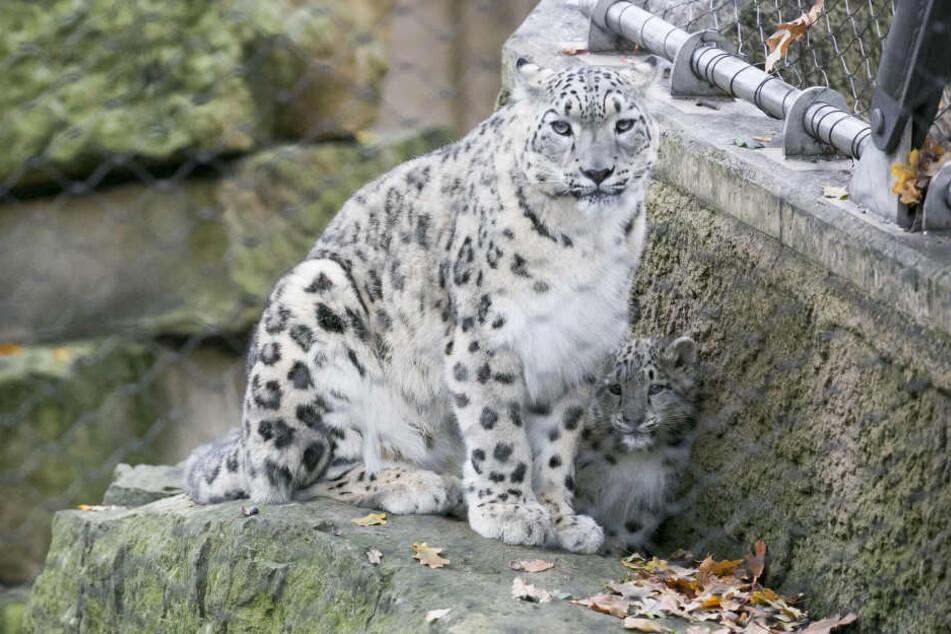 Schock-Nachricht aus dem Dresdner Zoo | Alle drei Schneeleoparden- Babys eingeschläfert!