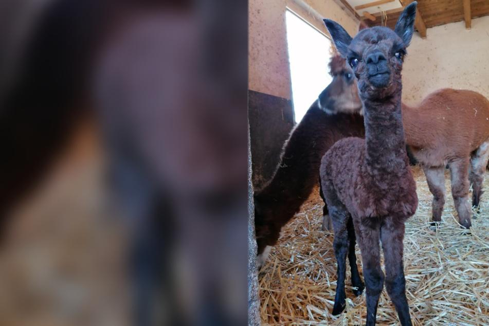 Süßer Nachwuchs im Zoo der Minis soll Hoffnung geben
