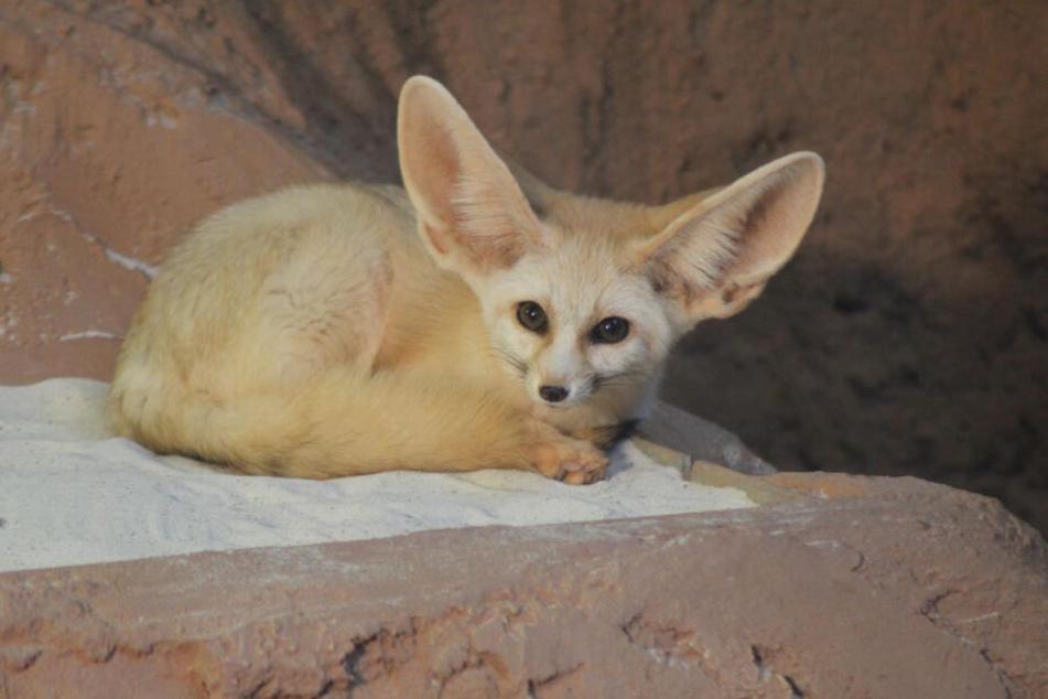 Was für große Ohren! Erfurter Zoo hat neue Bewohnerin
