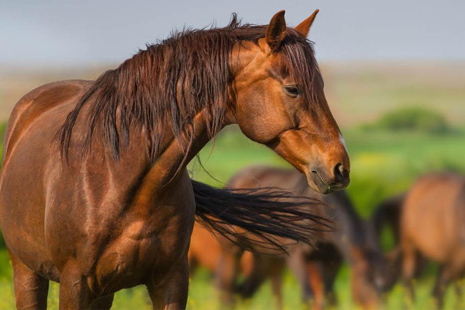 Vor allem Pferde, die nachts auf der Koppel waren, wurden zu Opfern. (Symbolbild)