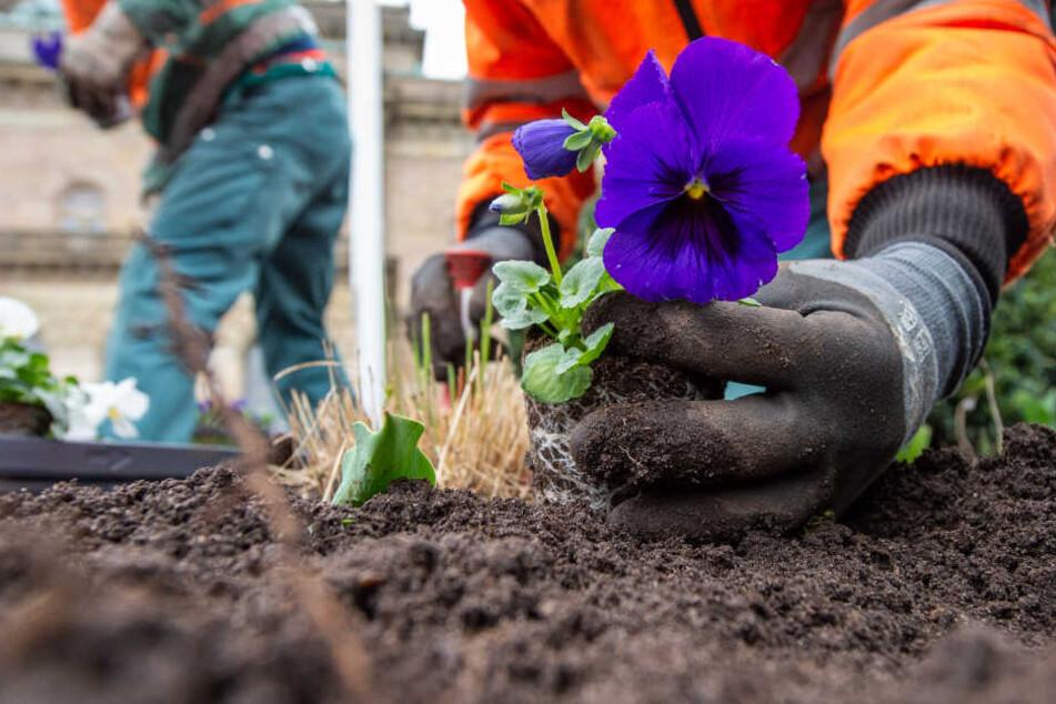 Frühlings-Hasser? Mann reißt 400 Blumen aus