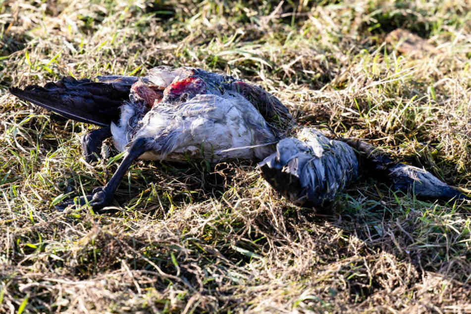 Eine tote Nonnengans liegt Gras. In Mecklenburg-Vorpommern ist die Vogelgrippe in einem zweiten Landkreis aufgetreten.