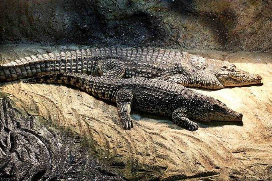 Krokodile bewachen Geld von Drogendealern