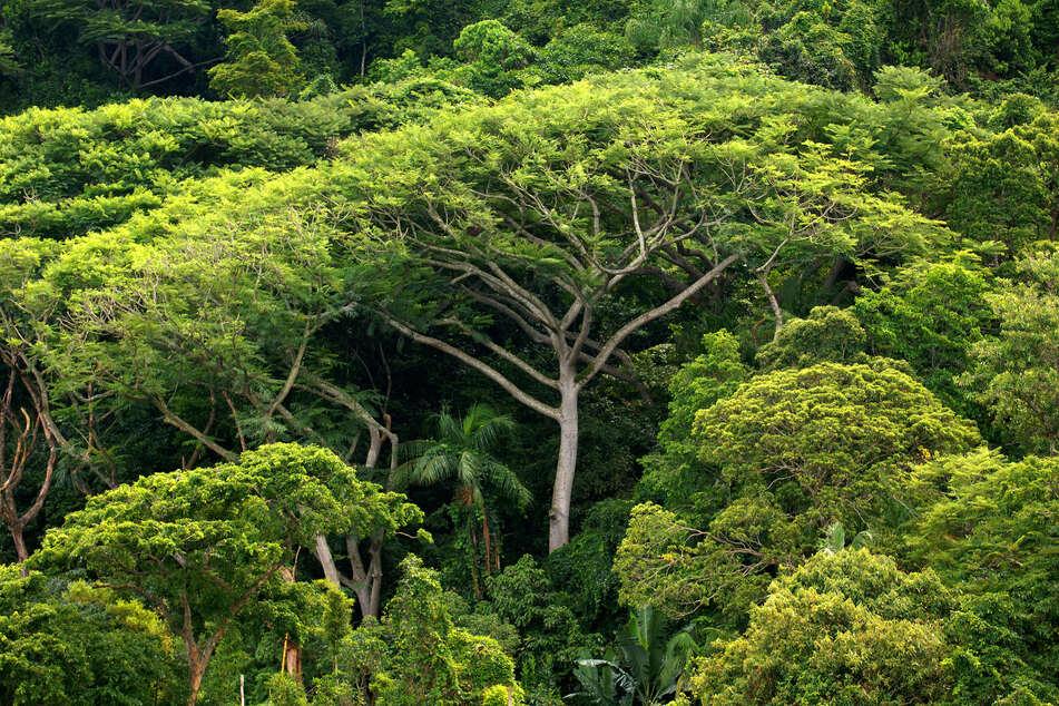 Dichter Atlantischer Regenwald auf der Ilha do Cardoso im Bundesstaat Sao Paulo.