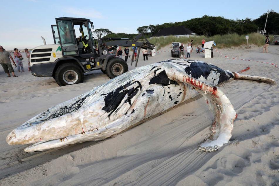 Der teils blutige tote Buckelwal wurde von der Feuerwehr mit einer Seilwinde an Land gezogen.