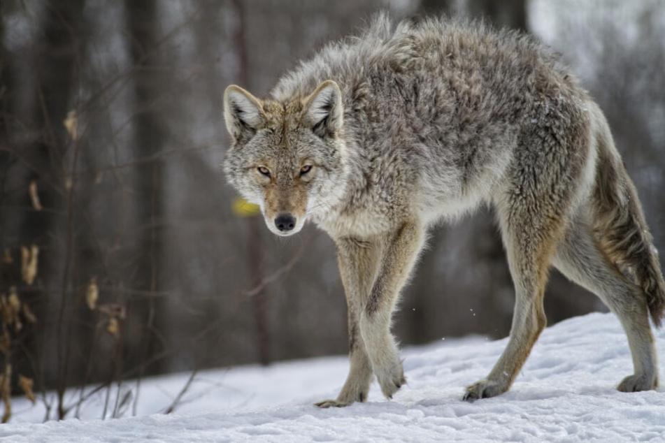 Ian O'Reilly erwürgte einen Kojoten mit bloßen Händen. (Symbolbild)