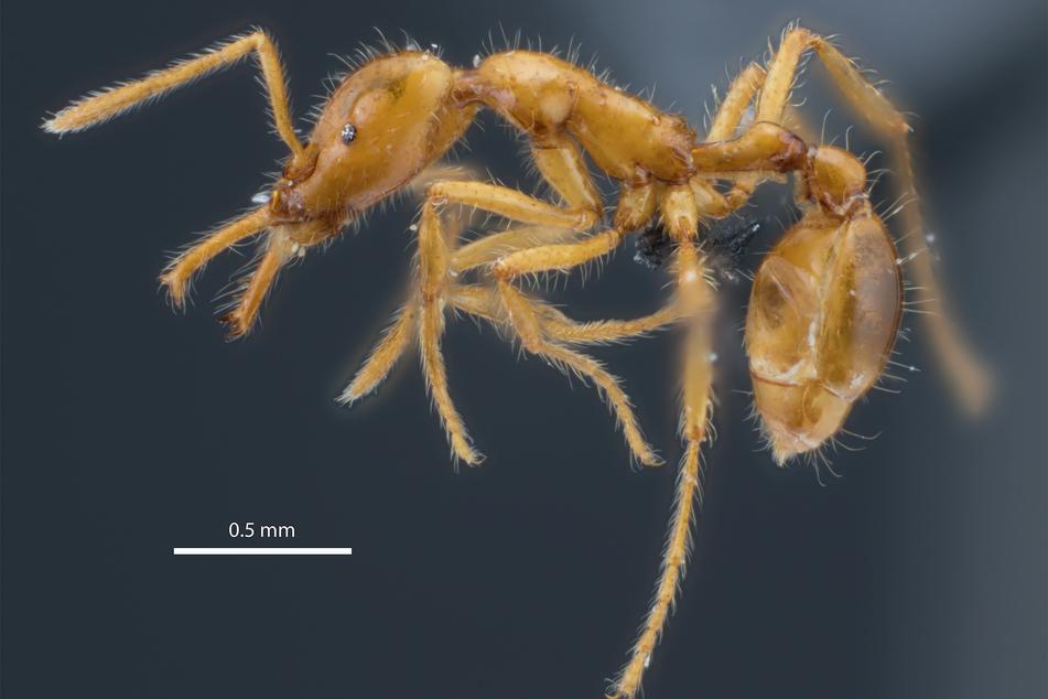 Forscher entdeckt neue Ameisenart: Das macht diesen Krabbler so besonders