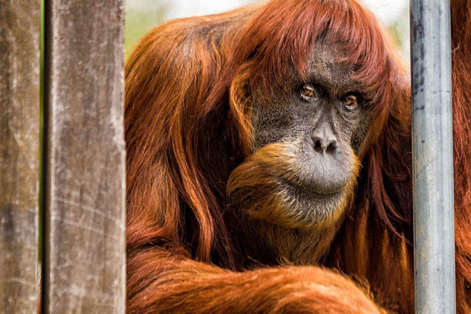 Ältester Sumatra-Orang-Utan der Welt musste eingeschläfert werden
