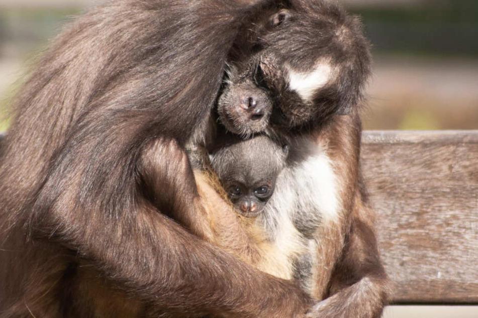 Im Fell seiner Mutter ist das Jungtier gut getarnt.