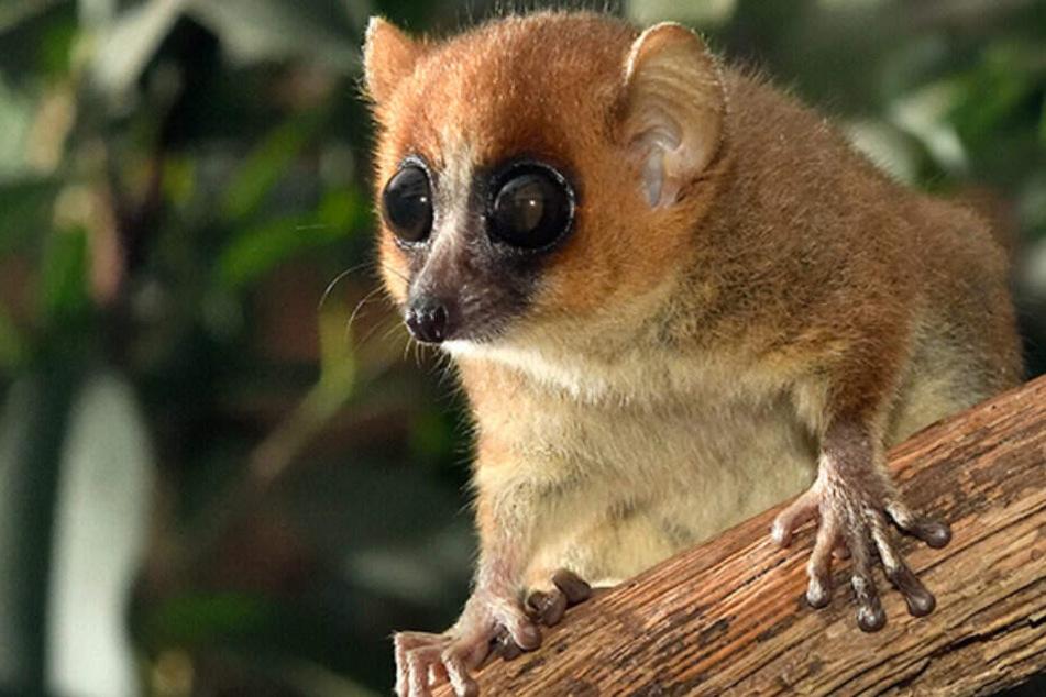 Ein Mausmaki aus dem Kölner Zoo. Diese Affen gelten als kleinste Affenart der Welt.