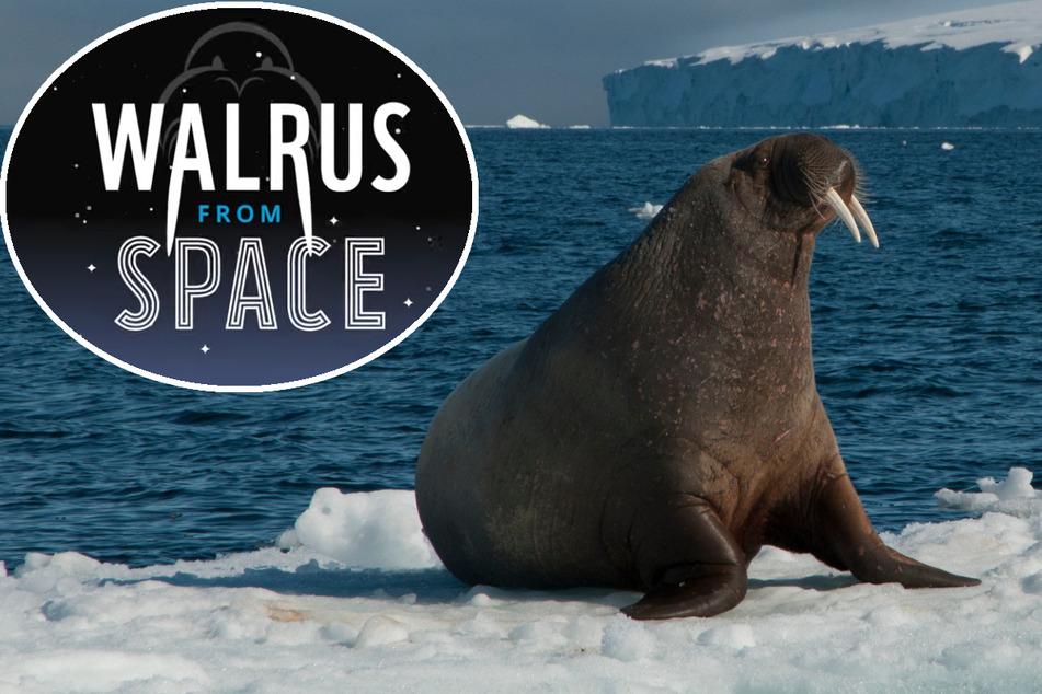 Wie viele Walrosse leben noch in der Arktis? WWF startet großes Mitmach-Projekt