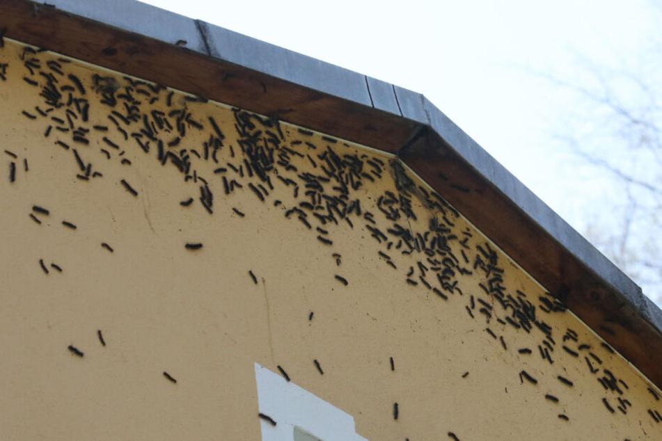 Schwammspinenr-Raupen haben eine Fassade eines Hauses in Gera befallen (Archivbild).