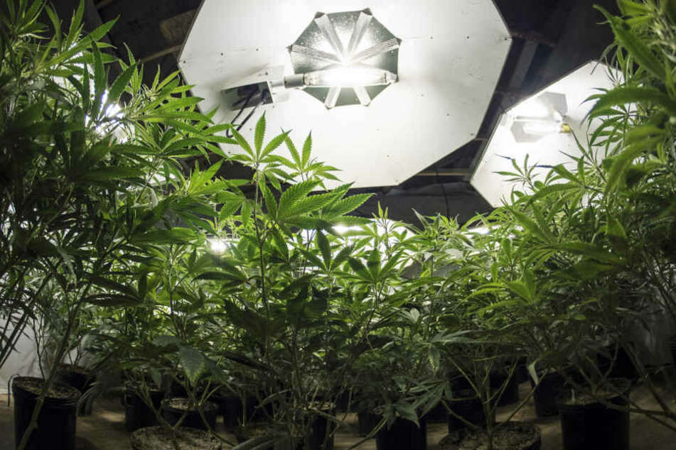 In einer Wohnung in der Neefestraße entdeckten Polizisten eine Indoorplantage. (Symbolbild)