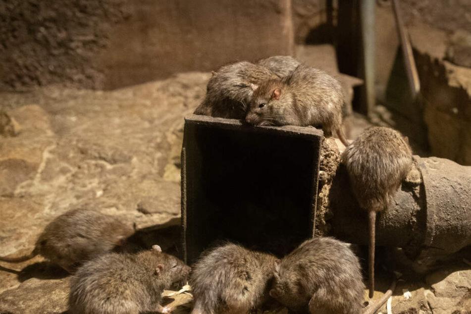 Mann will Ratten mit Feuer töten, doch dann kommt alles anders