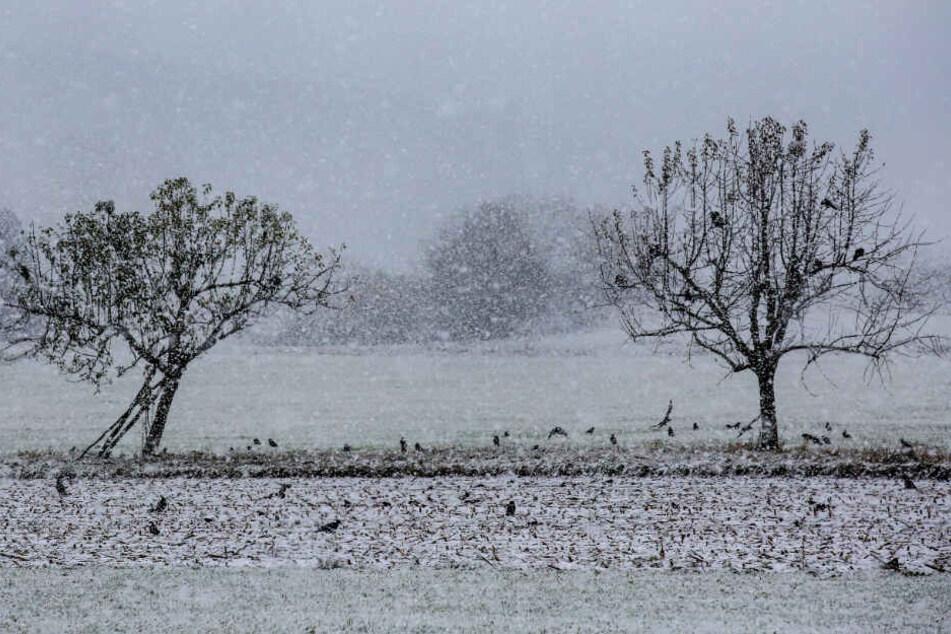 Krähen im Schnee auf der Alb.
