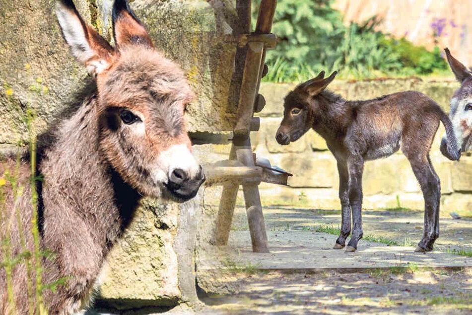 Sooo süß! Esel-Nachwuchs im Dresdner Zoo