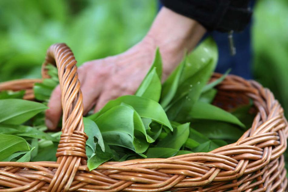 """Ab März/April kann die Heil- und Gewürzpflanze, die im Volksmund aufgrund ihres Geruchs auch """"Wilder Knoblauch"""" genannt wird, geerntet werden."""