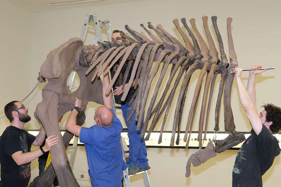 Die Rekonstruktion wurde im Institut für spezielle Zoologie der Uni Jena anatomisch korrekt neu aufgestellt und ist nun im Landesmuseum in Halle (Saale) zu sehen.