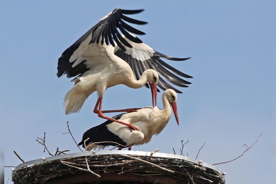 Das Waldenburger Storchen-Paar in Aktion: Schon in einem Monat könnte es Nachwuchs geben.