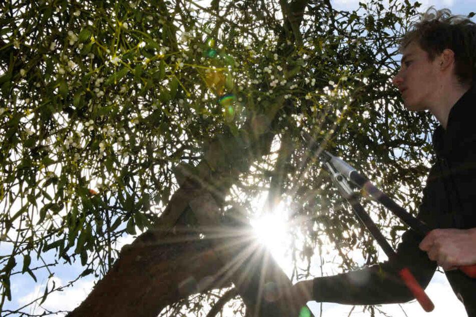 Florian Köbke vom Landschaftspflegeverband Nordwestsachsen schneidet in Hainichen bei Eilenburg Misteln aus einem alten Apfelbaum. Um die Ausbreitung der Plage zu stoppen, sollten befallene Bäume dringend ausgeschnitten werden.