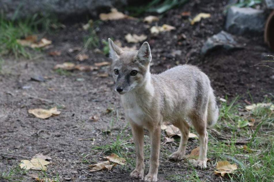 Dieser kleine Steppenfuchs bewohnt nun den Chemnitzer Tierpark.