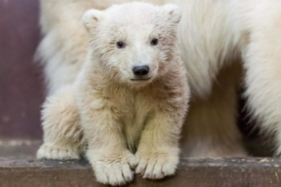 Das Berliner Eisbärbaby Fritz ist tot.