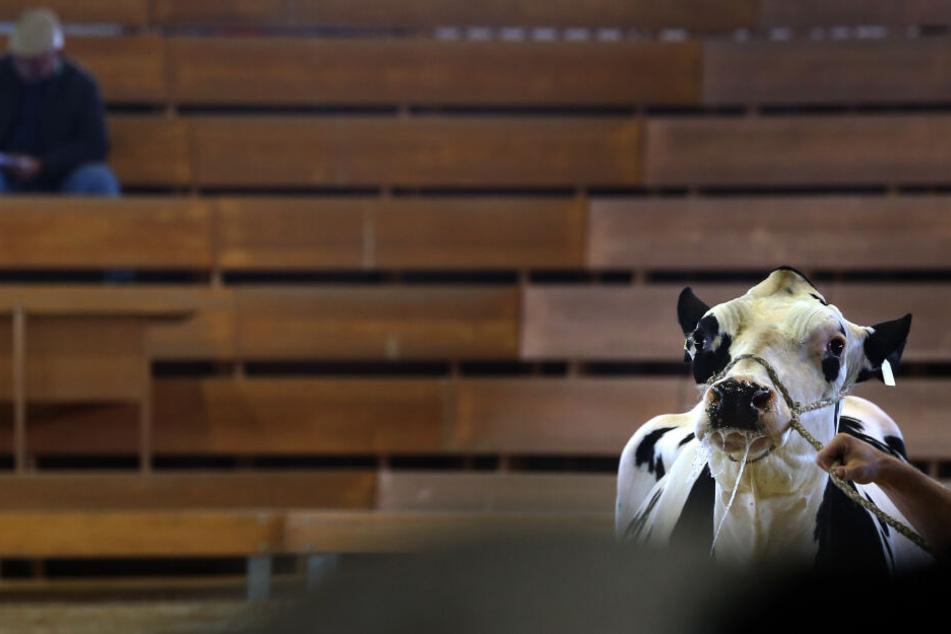 Eine zu ersteigernde Jungkuh wird Interessierten vorgeführt. Wegen der Krankheit bekommt man kaum noch Geld für Rinder.
