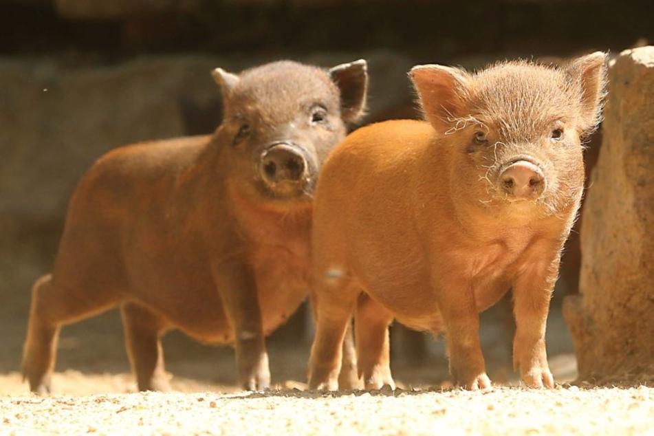 Insgesamt 18 Schweine wechselten bei der amtlichen Auktion den Besitzer.