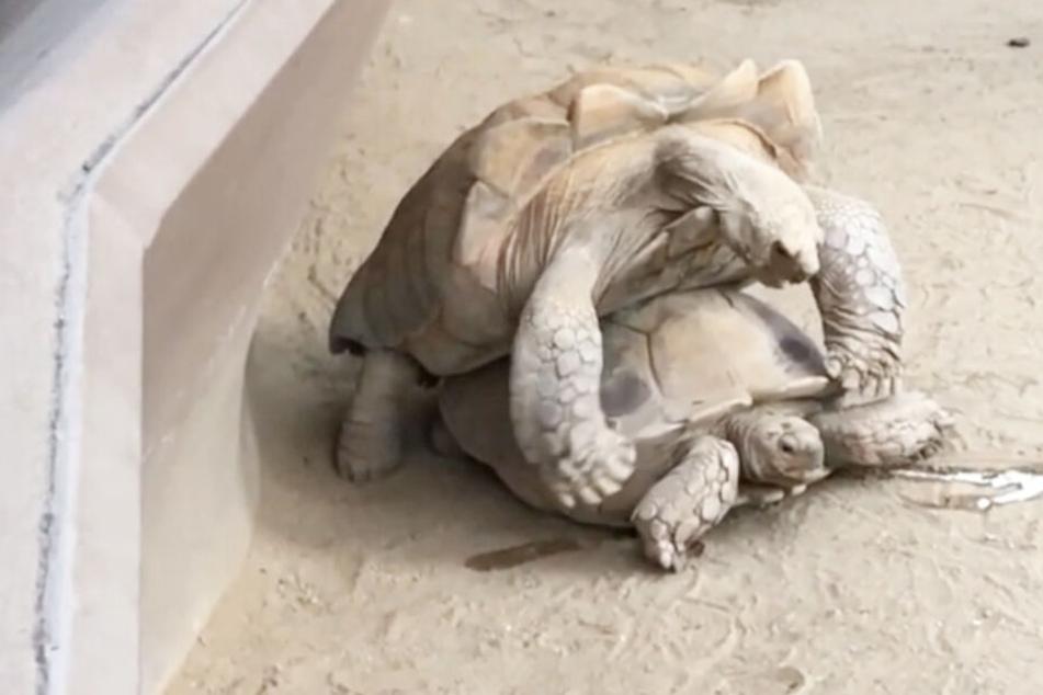 Der Youtuber filmte die Schildkröten beim Sex.
