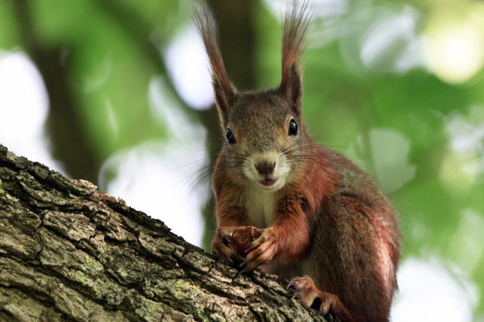 Eichhörnchen müssen in Städten oft auf Balkone ausweichen, da es nicht genügend Bäume gibt.