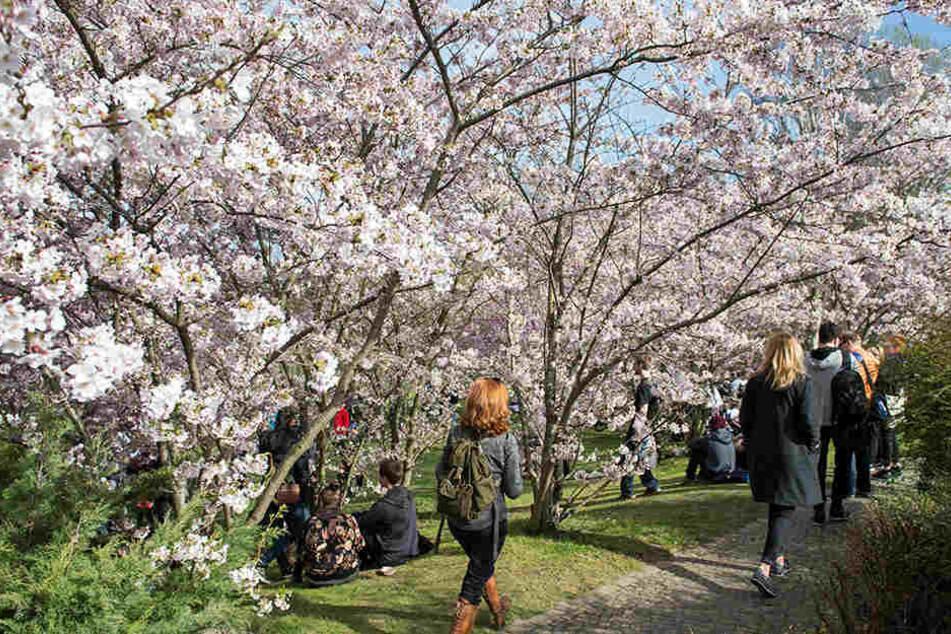 Pure Zerstörung in den Gärten der Welt: Kirschbäume brutal zersägt