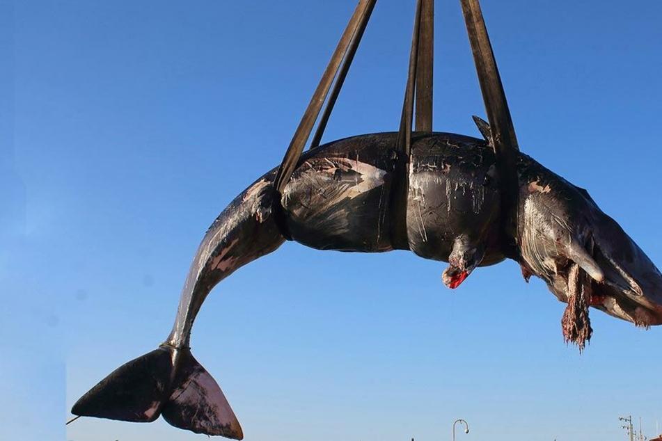 Mehr als 20 Kilo Plastik im Magen von totem Walfisch gefunden