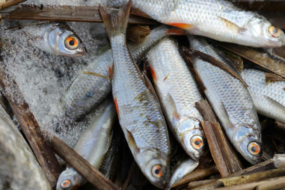 Das Fischsterben an der Elbe geht weiter.