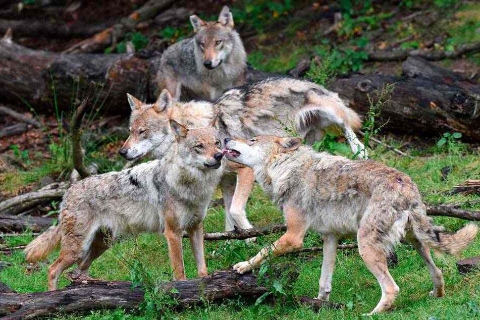 Wolfsrudel in Sachsen werden zahlreicher - und zeugen immer häufiger Nachwuchs mit Hunden.
