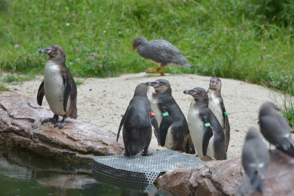 Die Pinguin-Kolonie ist deutlich geschrumpft. Jetzt warten die verbliebenen Vögel auf mehr weibliche Unterstützung.